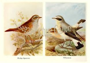 Hedge-Sparrow & Wheatear